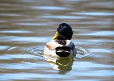 Wild Duck Over The Blue Water Stock Photography