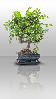 Free Bonsai Royalty Free Stock Images - 9732699