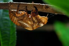 Cicada Molt Royalty Free Stock Images