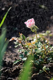 Free Rose In The Dew Drops Royalty Free Stock Image - 9734216