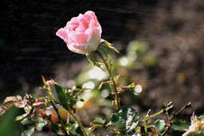 Free Rose In The Dew Drops Royalty Free Stock Photo - 9734265