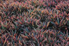 Free Stromanthe Sanguinea Stock Photography - 9734492