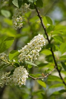 Free Bird Cherry Tree Royalty Free Stock Photo - 9734495