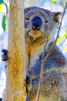 Free Wild Koala Stock Photography - 9735352