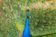 Free Peacock Royalty Free Stock Photo - 9736415