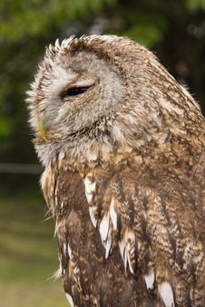 Free Magnificent Owl Stock Images - 9736644