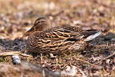 Free Mallard On Ground Stock Image - 9736731