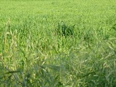 Free Green Wheat Field Royalty Free Stock Photography - 9736817