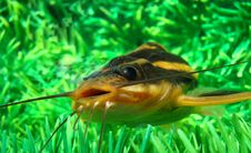 Free Catfish Striped Royalty Free Stock Photos - 9737168