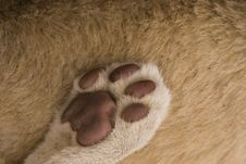 Lion Paw Abstract Royalty Free Stock Photography