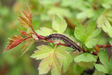 Caterpillar On A Branch Stock Photos
