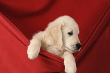 Free Golden Retriever Puppy Stock Photo - 9738710