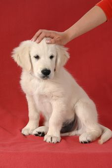 Free Golden Retriever Puppy Royalty Free Stock Photography - 9738767