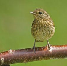 Free A Juvenile Robin. Stock Image - 9738771