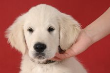 Free Golden Retriever Puppy Royalty Free Stock Image - 9738776
