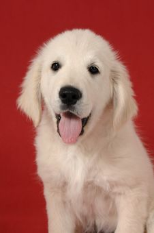 Free Golden Retriever Puppy Royalty Free Stock Images - 9739009