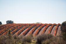 Free Vineyard Vines Field Royalty Free Stock Photography - 97313867