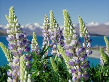 Free Plant, Flower, Lupinus Mutabilis, Lupin Royalty Free Stock Photo - 97340705