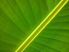 Free Leaf, Green, Banana Leaf, Plant Royalty Free Stock Image - 97340956