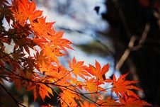 Free Maple Leaf, Leaf, Autumn, Maple Tree Royalty Free Stock Photos - 97348568