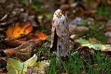 Free Fungus, Mushroom, Leaf, Edible Mushroom Stock Photography - 97349952