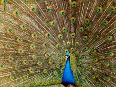 Free Peafowl, Galliformes, Feather, Bird Stock Photography - 97353352