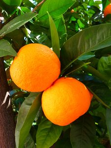 Free Citrus, Fruit, Bitter Orange, Valencia Orange Royalty Free Stock Images - 97353399