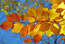 Free Leaf, Autumn, Deciduous, Branch Royalty Free Stock Photography - 97353637