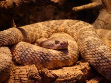 Free Snake, Scaled Reptile, Reptile, Serpent Stock Photos - 97356813