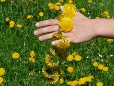 Free Flower, Yellow, Dandelion, Chamaemelum Nobile Royalty Free Stock Photography - 97358357