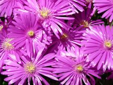 Free Flower, Aster, Purple, Ice Plant Royalty Free Stock Photos - 97358358