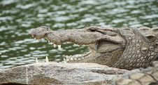 Free Crocodilia, Crocodile, Nile Crocodile, Reptile Stock Photo - 97358620