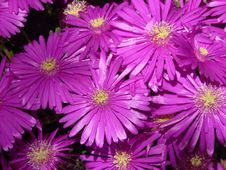 Free Flower, Aster, Purple, Ice Plant Royalty Free Stock Photo - 97358685