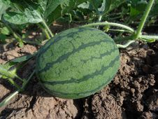 Free Melon, Watermelon, Cucumber Gourd And Melon Family, Plant Royalty Free Stock Image - 97360826