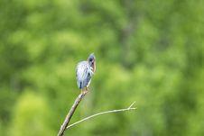 Free Oiseau &x28;Héron Vert&x29; 1127 Stock Images - 97381484