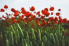 Free Poppies On A Windy Day Stock Image - 97381511