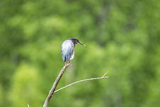 Free Oiseau &x28;Héron Vert&x29; 1126 Stock Photography - 97381512