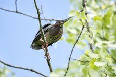 Free Oiseau &x28;Héron Vert&x29; 1120 Stock Photography - 97381612
