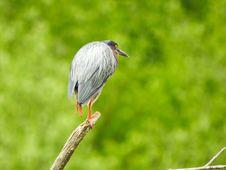 Free Oiseau &x28;Héron Vert&x29; 1129 Stock Images - 97381644