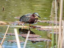 Free Oiseau &x28;Héron Vert&x29; 1107 Stock Photos - 97381653