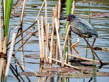 Free Oiseau &x28;Héron Vert&x29; 1114 Stock Images - 97381794