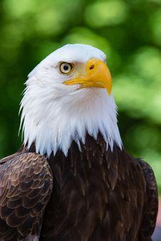 Free Max The Bald Eagle Stock Image - 97381811
