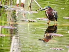 Free Oiseau &x28;Héron Vert&x29; 1111 Royalty Free Stock Image - 97381826