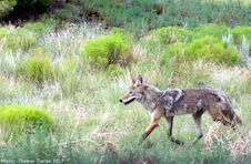 Free Coyote - New Mexico Stock Photos - 97381873