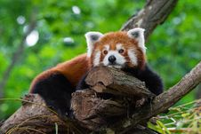 Free Tired Red Panda Royalty Free Stock Image - 97381886