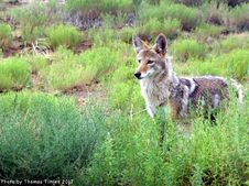 Free Coyote - New Mexico Royalty Free Stock Photo - 97381935