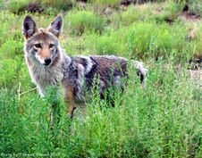 Free Coyote - New Mexico Royalty Free Stock Image - 97382316