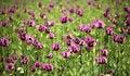 Free Vilet Poppy In Green Royalty Free Stock Image - 9744446