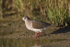 Free White-tipped Dove (Leptotila Verreauxi Verreauxi) Royalty Free Stock Images - 9740139