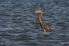 Free Reddish Egret (Egretta Rufescens Rufescens) Royalty Free Stock Photo - 9740145